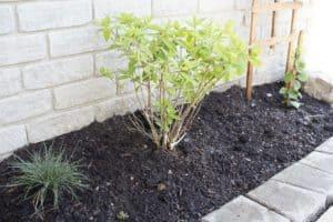 hydrangea bush new