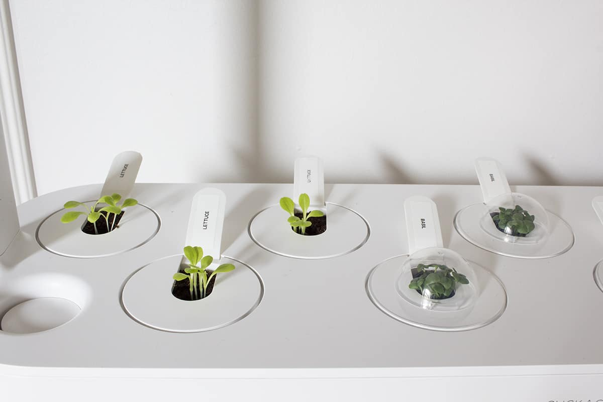 sprouting hydroponic lettuce and basil